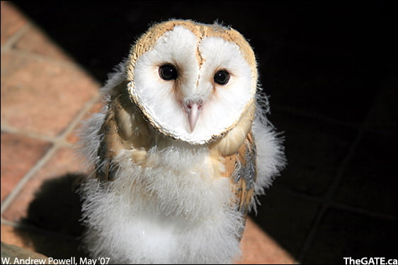 Lily the baby barn owl